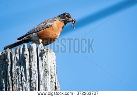 An American Robin Collecting The Food For Its Chicks.   Vancouver Bc Canada