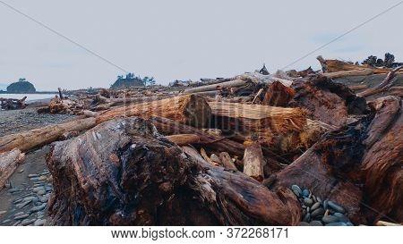 Redwood Trees Lying At La Push Beach Washington