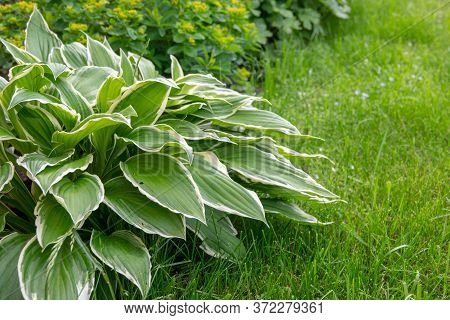 Host Plant. Bright Green Background With Leaves For Design. Hosta In Garden.