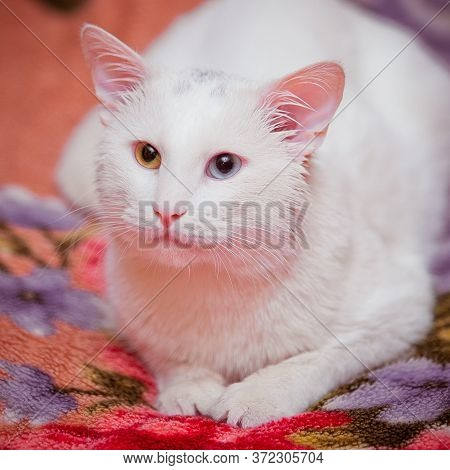 The Cat Lies On A Multi-colored Plaid, The Whole White Cat, One Eye Blue, The Other Yellow. Accordin