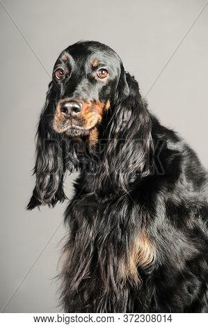 Gordon Setter Dog Sitting, On A Gray Background
