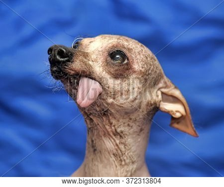 The Chinese Crested Dog Is A Hairless Breed Of Dog. Like Most Hairless Dog Breeds, The Chinese Crest