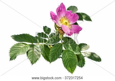 Rosa Canina Stalk With Pink Flower And Green Leaves, Isolated On White Background. Flowering Of A Us