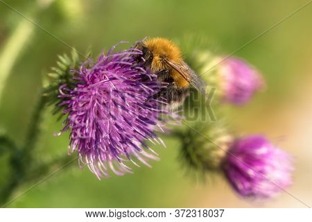 Close Up Photo Of Bumble Bee On Purple Flower. Conceptual Image Of Nature, Environmental Fragility,