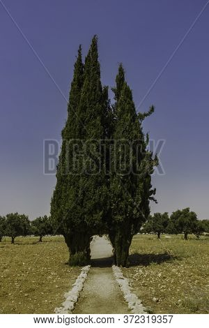 Two Cypress Trees Joined Together, Forming A Gateway Between Them, With Olive Trees In The Backgroun