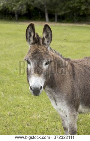 A Portraiture Of A Miniature Donkey In North Idaho.