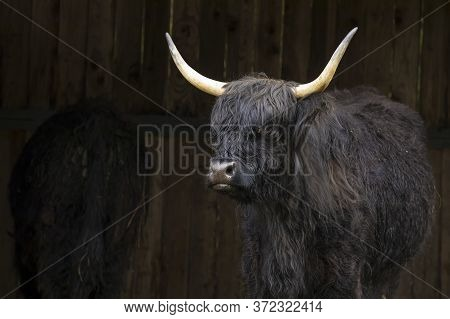 Highland Cow With Horns In A Structure In North Idaho.