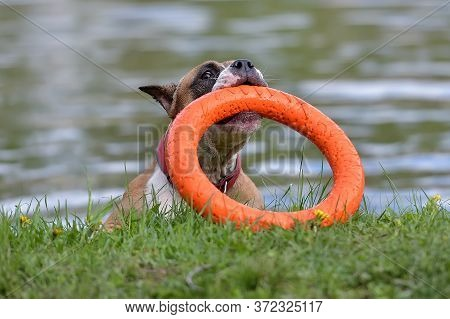 American Staffordshire Terrier Plays With Training Charger, Toy For Dog Puller