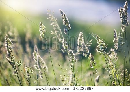 Wild Field In Summer, Close Up, Uncultivated Field At Sunset, Soft Focus