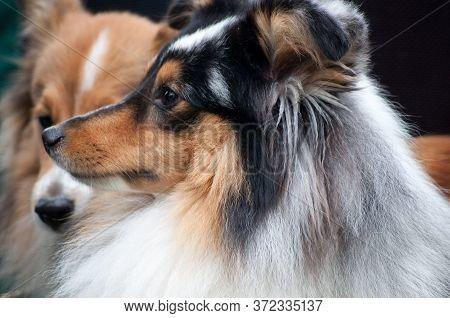 Closeup Portrait Of Shetland Sheepdog, Cute Adult Domestic Animal, Best Friend For Human, Beautiful