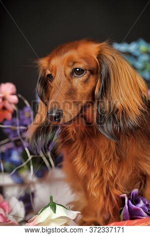 Studio Shot Of A Beautiful Long Hair Teckel (dachshund)