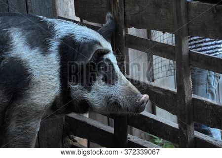 Gray With A Black Pig, A Mixture Of Wild Boar, In A Pen In The Village