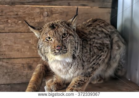 Injured By Bullet Lynx In A Cage, On Reabilitation Period