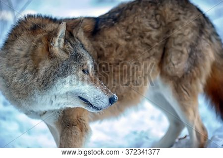 Wolf In The Snow Close Up Photo