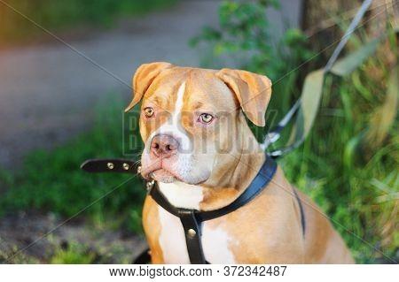 Purebred American Bully Dog Pedigree Portrait Green Eyes