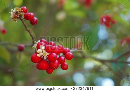 Close-up Of Bright Red Holly Berries And White Flowers On The Branch Of A Holly Tree With Bokeh; Sel