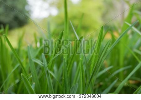 Close-up Background Image Of Bright Green Blades Of Grass; Texture