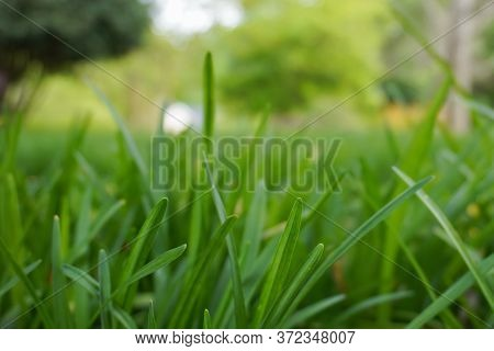 Close-up Image Of Blades Of Green Grass In A Yard In Summer; Landscape View