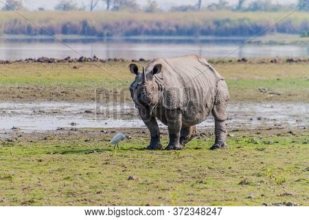 Indian Rhinoceros Rhinoceros Unicornis In Kaziranga National Park, India