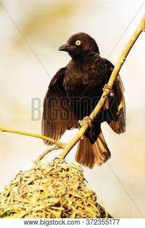 The Vieillot's Black Weaver (ploceus Nigerrimus) Attracting Female At The Nest