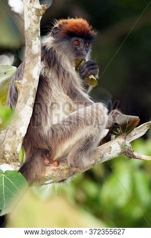 The Ugandan Red Colobus (procolobus Tephrosceles) Sitting On A Branch With A Leaf In His Hand