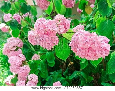 Pink Flowers Of Hydrangea Close-up. Natural Hydrangea Flowers Background. Hydrangea Macrophylla Bush