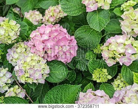 Hydrangea Flower, Hydrangea Macrophylla, Blooming In Spring And Summer In A Garden. Hydrangea Macrop