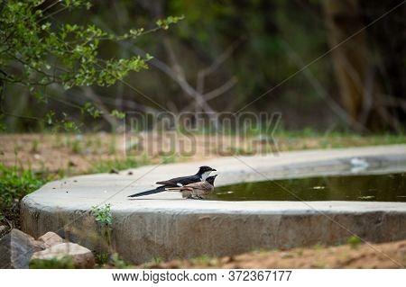 Jacobin Cuckoo Or Pied Cuckoo Or The Pied Crested Cuckoo Or Clamator Jacobinus At One Of Waterhole W