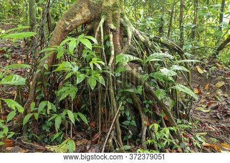 Branched Root System Of A Tropical Tree In The Rainforest. Roots Protruding Above The Surface Of The