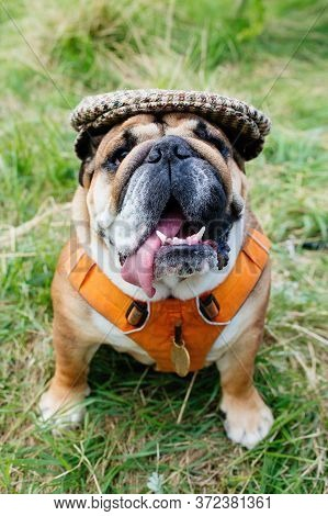 Red English/british Bulldog Dog Wearing Cap Out For A Walk Looking Up Sitting In The Grass