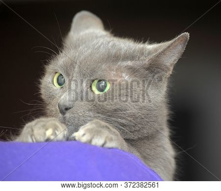 Scared Sad Gray Cat In Hands Close Up