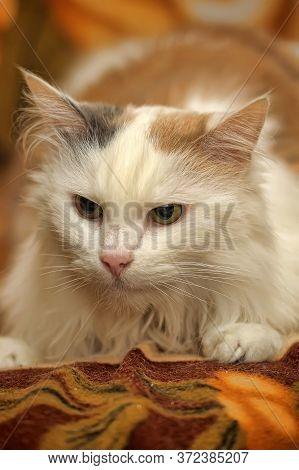 Fluffy Tricolor Cat Lies Portrait Close Up