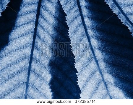 A Fragment Of Two Chestnut Leaves With Veins Overlapping Each Other Close-up On The Lumen. Highlight