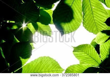 Selective Focus On The Green Leaves Of Chestnut, Forming A Natural Framing. Highlighting The Sun Beh