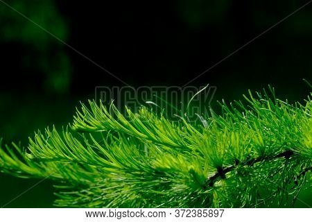 Selective Focus On Young Green Shoots Of Coniferous Tree On A Summer Sunny Day. Coniferous Needles O