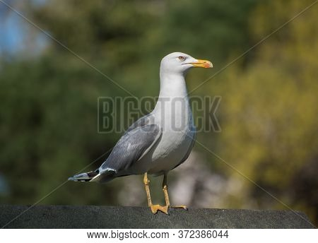 Seagull With Green Background. Seagull In Nature.