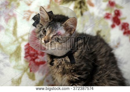 Cat Wearing A Protective Elizabethan Collar (also Known As A Buster Collar) After A Surgical Operati