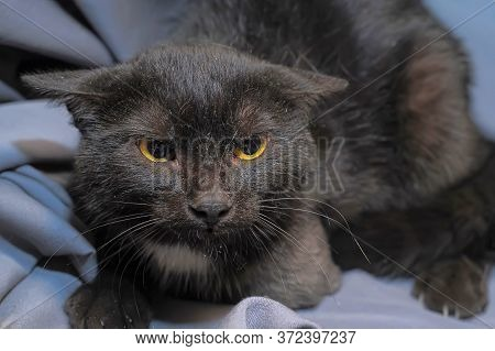 Angry Frightened Cat Clutching His Ears Close Up