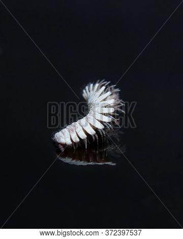 Hirudisoma Millipede Photo Shoot In A Reflective Surface