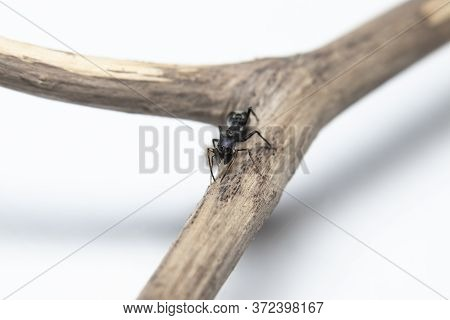Ant Mimicking Jumping Spider(myrmarachne Japonica) On A Branch