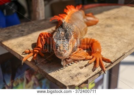Close Up Red Orange Iguana Crawling On Wood With Tree Background, Looking Side Way. Close-up Portrai