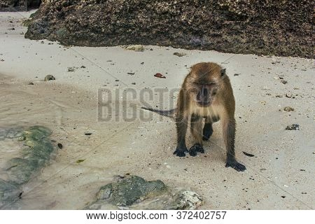 Brown Monkey Become Angry To Photographer, Coming On