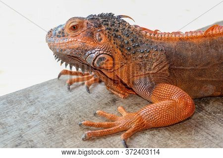 Portrait Side View Red Iguana On The Wood. Focus On Head And Front Of Body With Legs. Close-up, Face