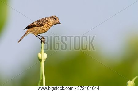 European Stonechat, Saxicola Rubicola. A Young Bird Sits On A Beautiful Stem Of A Plant