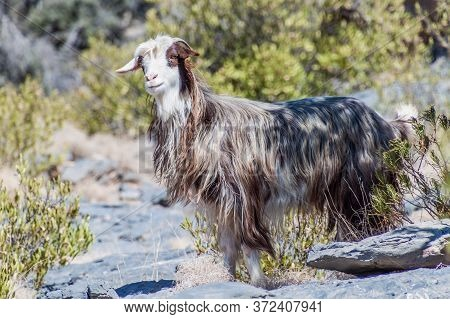 Arabian Tahr Arabitragus Jayakari In Hajar Mountains, Oman