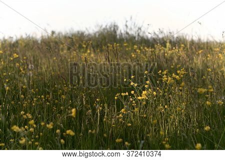 Long Grass, Dandelions And Buttercups Amongst Other Plants Make Up This Meadow Texture Image. Partic