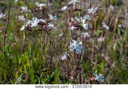 Silene Latifolia Or White Campion On A Sunny Day In Springtime