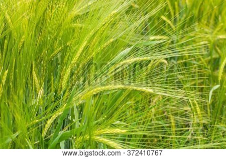 Green Ears Of Two-row Barley With Long Spikes In An Agricultural Field In Springtime