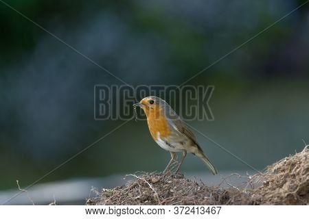 A Redbreast Robin Stands On Mud. Beady Eye Looks Directly At The Camera. Fresh Foraged Root Debris D
