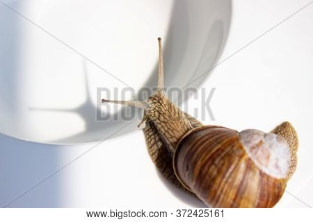 Snail Isolated On A White Deep Bowl In The Sunlight And With The Shadow Of A Snail's Horns.